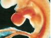 embrion-2-sem.jpg